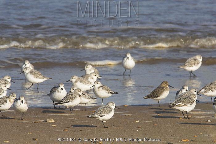 Sanderlings (Calidris alba) roosting on shore, Norfolk, UK,  -  Gary K. Smith/ npl