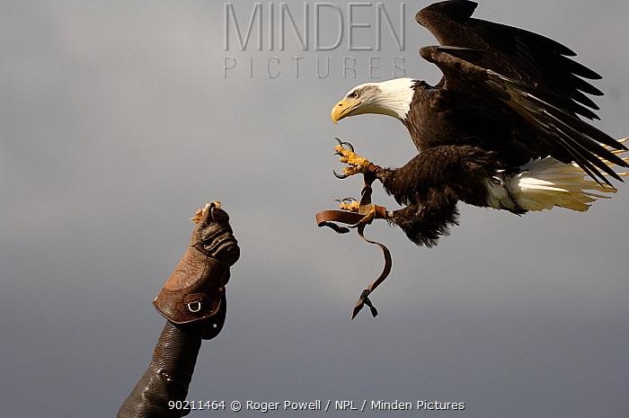 American Bald Eagle (Haliaeetus leucocephalus) landing on falconers glove Hawk and Owl Conservancy, Hampshire, UK  -  Roger Powell/ npl