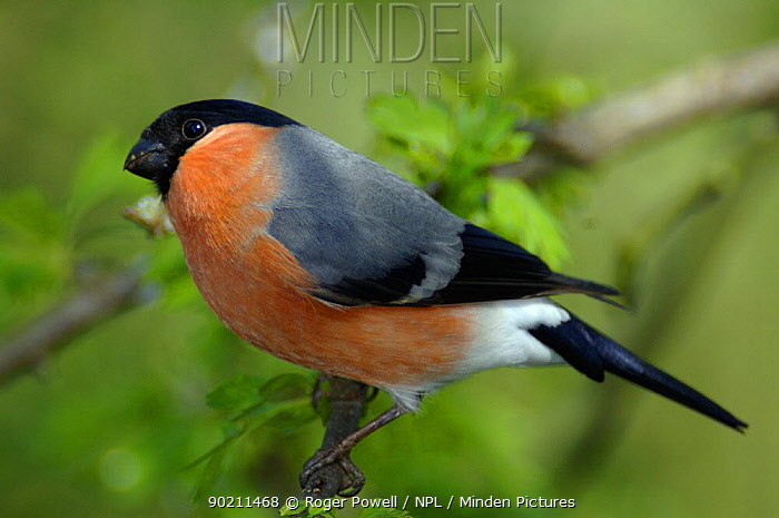 Common Bullfinch male (Pyrrhula pyrrhula)  -  Roger Powell/ npl
