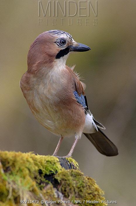 Jay (Garrulus glandarius), Northumberland, UK  -  Roger Powell/ npl