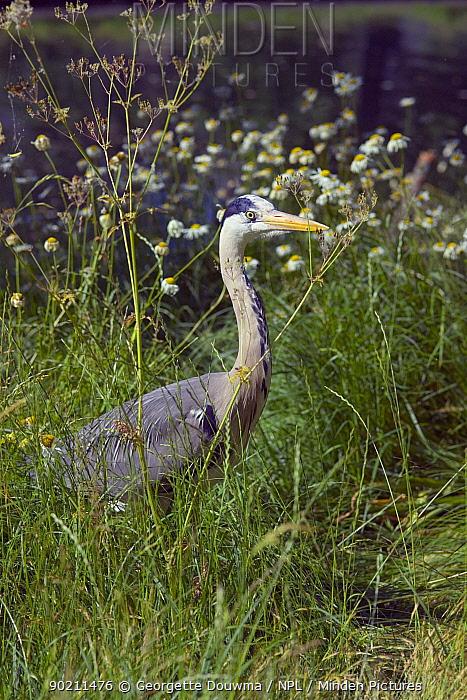 Grey heron (Ardea cinerea) Regent's Park, London, UK  -  Georgette Douwma/ npl