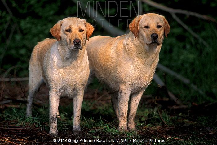 Domestic dogs, two Labrador retrievers  -  Adriano Bacchella/ npl