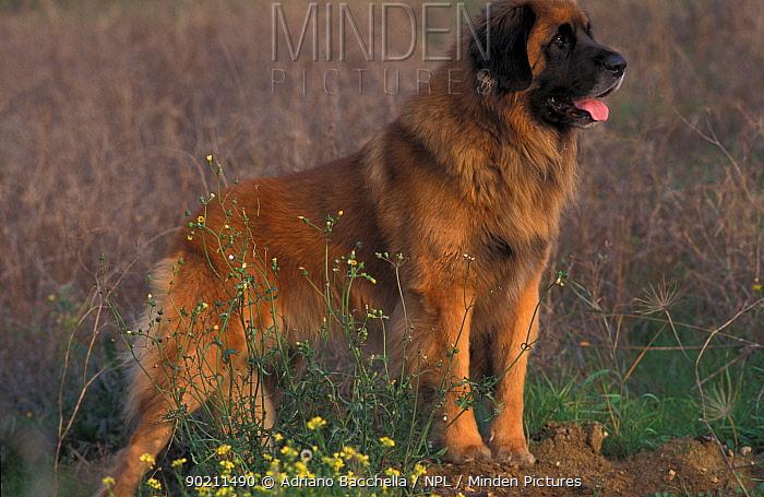 Domestic dog, Leonberger portrait  -  Adriano Bacchella/ npl