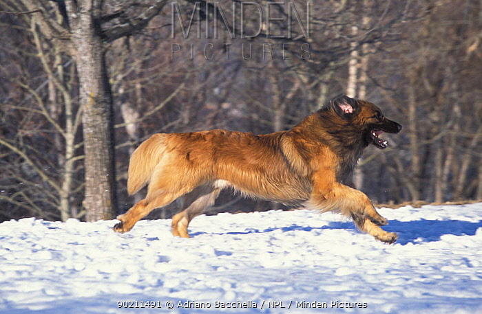 Domestic dog, Leonberger running in snow  -  Adriano Bacchella/ npl