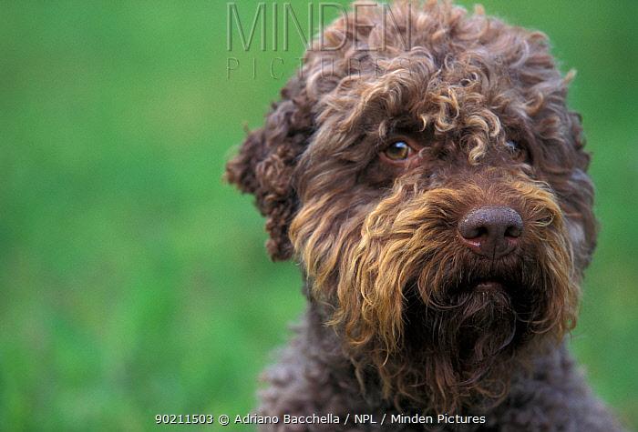 Domestic dog- Lagotta Romagnolo portrait  -  Adriano Bacchella/ npl