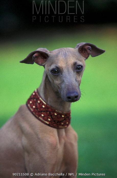 Domestic dog, fawn whippet wearing a collar  -  Adriano Bacchella/ npl