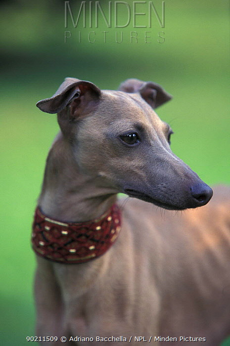 Domestic dog, fawn whippet wearing a collar, lookig away  -  Adriano Bacchella/ npl