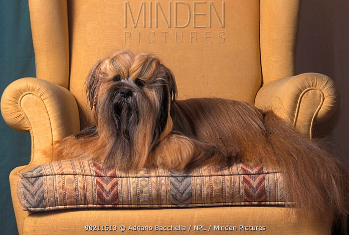 Domestic dog, Lhasa Apso sitting on armchair  -  Adriano Bacchella/ npl