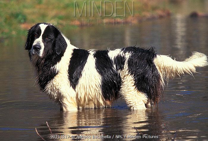 Domestic dog, Landseer, Newfoundland in shallow water  -  Adriano Bacchella/ npl