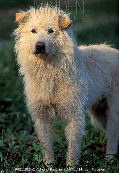 Domestic dog, mongrel portrait  -  Adriano Bacchella/ npl