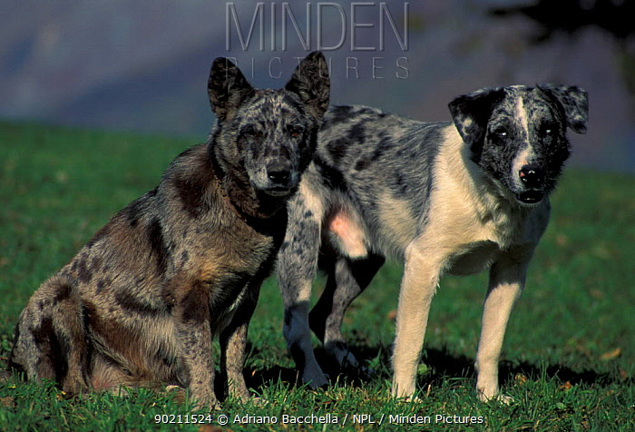 Domestic dogs, two brindled mixed breed dogs  -  Adriano Bacchella/ npl