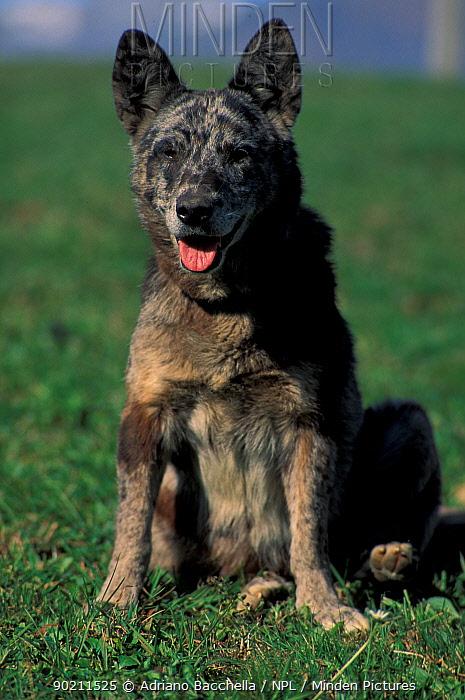 Domestic dog, brindled mongrel portrait  -  Adriano Bacchella/ npl