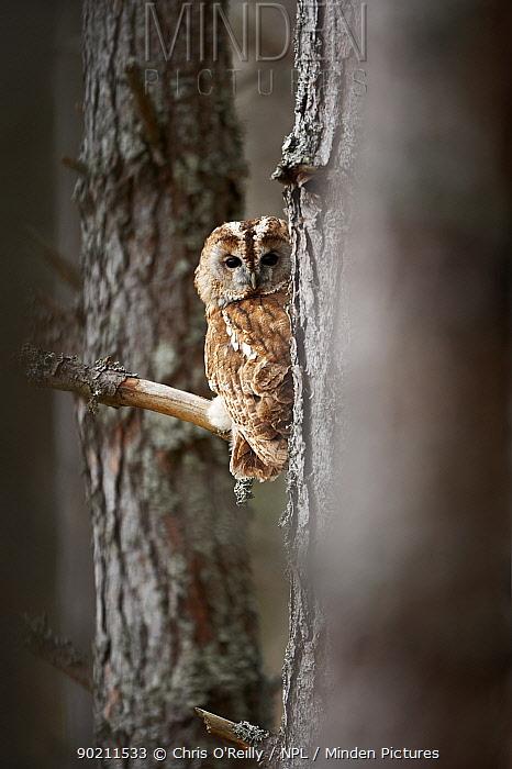 Tawny owl (Strix aluco) adult in woodland, Cairngorms NP, Scotland, UK, Captive  -  Chris O'Reilly/ npl