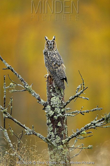 Long-eared owl (Asio otus) female perched on pine stump, Autumn, Cairngorms NP, Scotland, UK, Captive  -  Chris O'Reilly/ npl