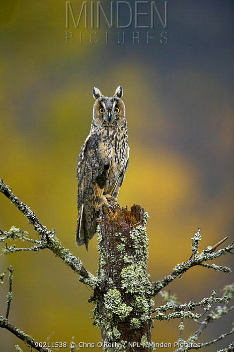 Long-eared owl (Asio otus) female perched on pine stump, Autumn, Cairngorms NP, Scotland, UK, Captive  -  Chris O'Reilly/ npl