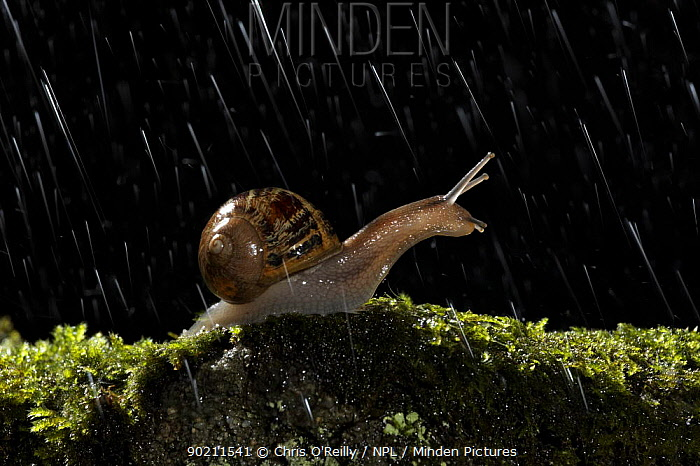 Common snail (Helix aspersa) Adult on moss covered stone at night in rain, Garden, Autumn, Derbyshire, UK  -  Chris O'Reilly/ npl