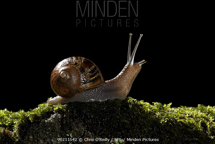 Common snail (Helix aspersa) Adult on moss covered stone at night, Garden, Autumn, Derbyshire, UK  -  Chris O'Reilly/ npl