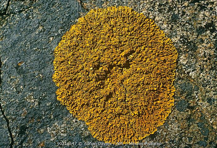 Lichen (Xanthoria parietina) growing on stone, UK  -  Adrian Davies/ npl