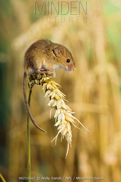 Harvest mouse (Micromys minutus) sitting on ear of corn, captive, UK  -  Andy Sands/ npl