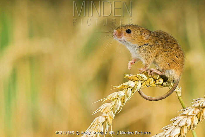 Harvest mouse (Micromys minutus) adult standing on corn surveying surroundings, captive, UK  -  Andy Sands/ npl