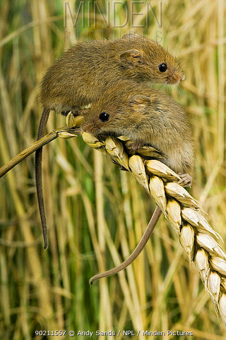 Harvest mouse (Micromys minutus) Two 2-week youngsters sitting on ear of corn, captive, UK  -  Andy Sands/ npl