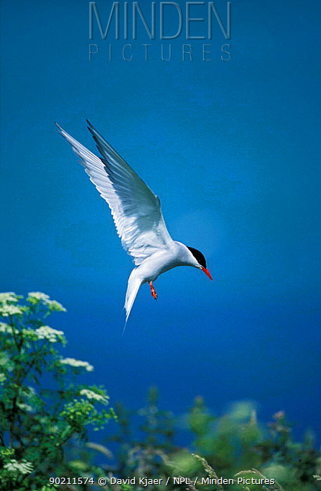 Arctic tern landing (Sterna paradisaea) Farne Is, Northumberland, UK  -  David Kjaer/ npl