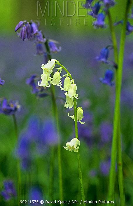 Bluebells, one white flower amongst blue (Endymion nonscriptus) Wiltshire, UK  -  David Kjaer/ npl
