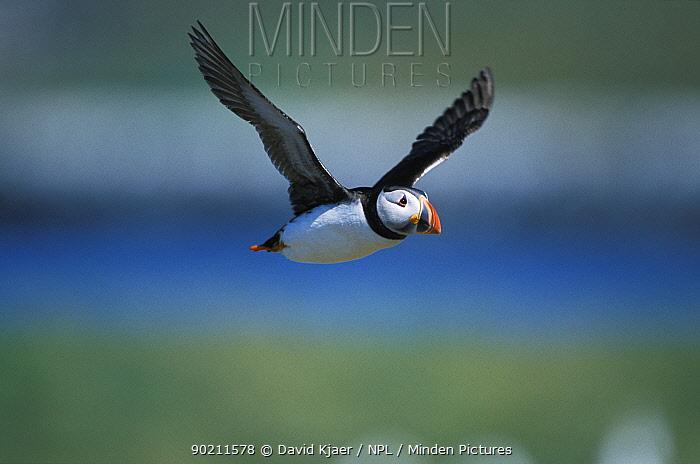Puffin in flight (Fratercula arctica) Farne Is UK  -  David Kjaer/ npl
