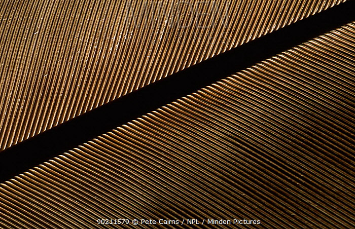 Close up of Golden eagle tail feather (Aquila chrysaetos)  -  Pete Cairns/ npl