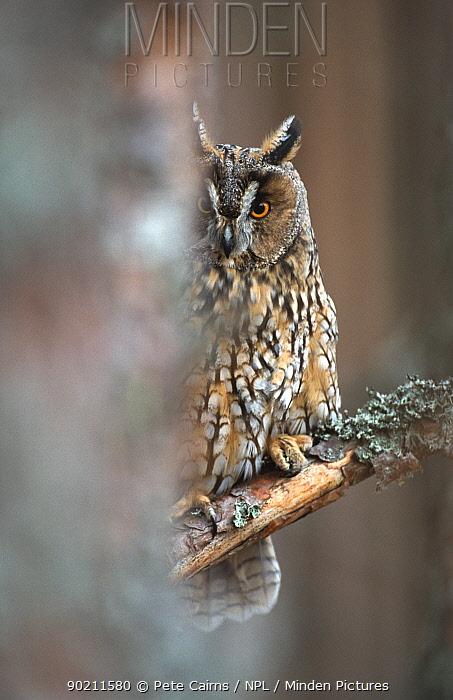 Long eared owl in tree (Asio otus) captive, Scotland  -  Pete Cairns/ npl