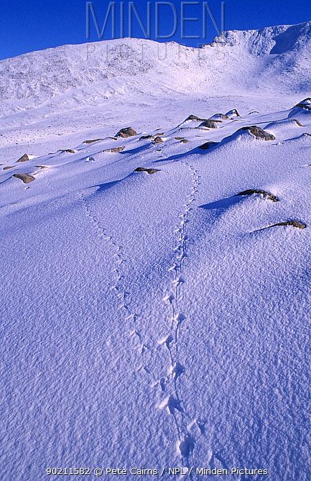 Footprints of Rock ptarmigan in snow (Lagopus mutus) Cairngorms, Scotland  -  Pete Cairns/ npl