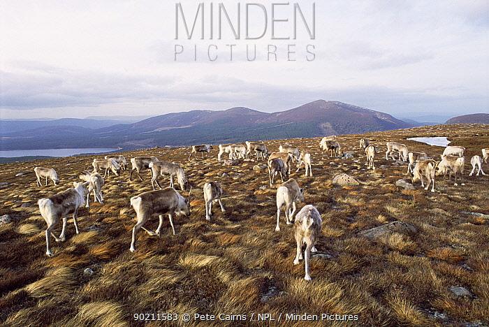 Reindeer herd grazing (Rangifer tarandus) Cairngorms NP, Scotland, UK  -  Pete Cairns/ npl