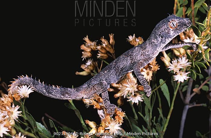 Northern spiny tailed gecko (Diplodactylus, Strophurus ciliaris abberans) Western Australia  -  Robert Valentic/ npl