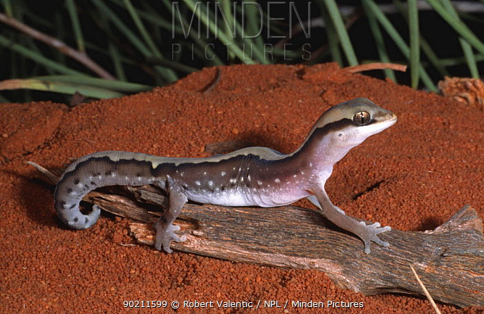 gecko (Diplodactylus pulcher) female, Western Australia  -  Robert Valentic/ npl