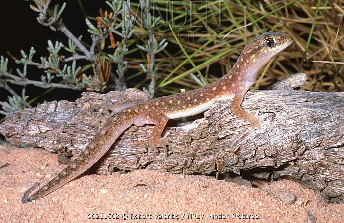 White spotted ground gecko (Diplodactylus alboguttatus) Western Australia  -  Robert Valentic/ npl