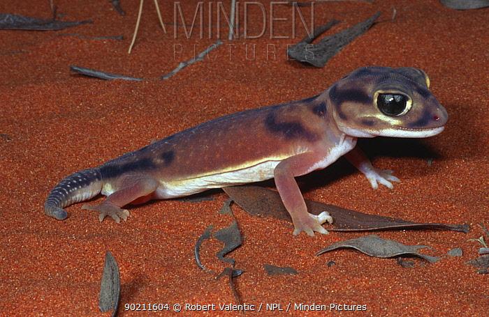 Smooth knob-tailed gecko (Nephrurus laevissimus) Uluru NP, Australia  -  Robert Valentic/ npl