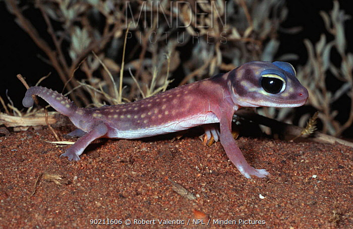 Starred knob-tailed gecko (Nephrurus stellatus) South Australia  -  Robert Valentic/ npl