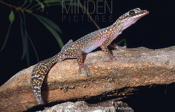 Jewelled velvet gecko, male (Oedura gemmata) Kakadu NP, Northern Territory, Australia  -  Robert Valentic/ npl
