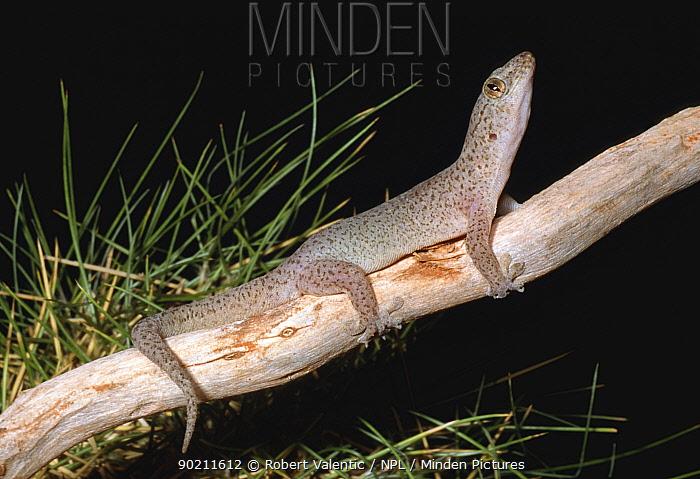 Purple dtella gecko (Gehyra purpurascens) Western Australia  -  Robert Valentic/ npl
