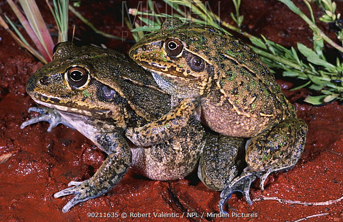 Giant frogs in amplexus (Cyclorana australis) Western Australia  -  Robert Valentic/ npl