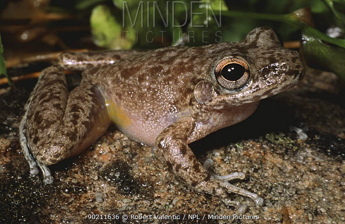 Copland's rock frog (Litoria coplandi) Kakudu NP, Northern Territory, Australia  -  Robert Valentic/ npl