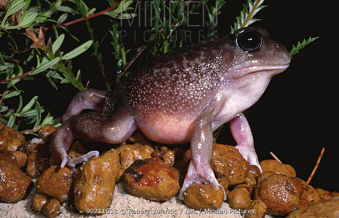 Gravid female Plains frog (Heleioporus inornatus) eggs visible through stomach, Western Australia  -  Robert Valentic/ npl