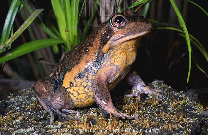 Male Eastern banjo frog (Limnodynastes dumerilli dumerilli) NSW, Australia  -  Robert Valentic/ npl