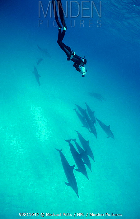 Filming Spinner dolphins (Stenella longirostris) Midway, Pacific  -  Michael Pitts/ npl
