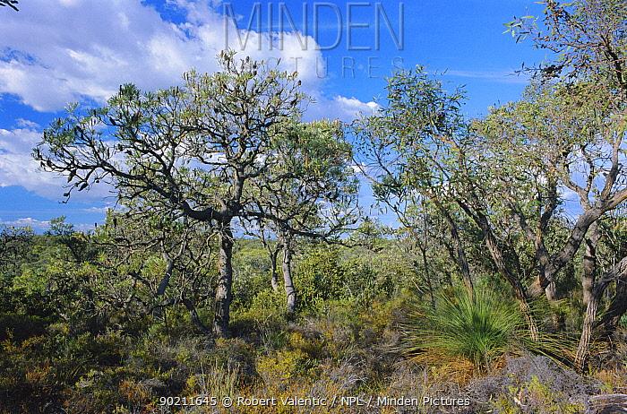 Banksia heathland habitat, Moore River NP, Western Australi  -  Robert Valentic/ npl