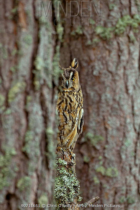 Long eared owl beside tree trunk (Asio otus) female, Scotland, UK, captive  -  Chris O'Reilly/ npl
