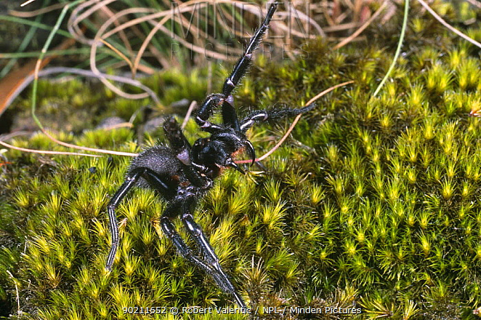 Blue mountain funnel web spider, male threat display (Hadronyche versuta) New South Wales, Australia  -  Robert Valentic/ npl