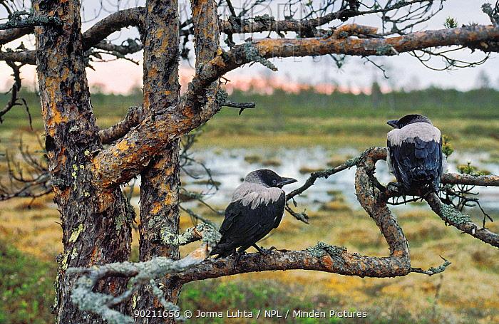 Hooded crows (Corvus cornix) in pine tree, northern Finland  -  Jorma Luhta/ npl