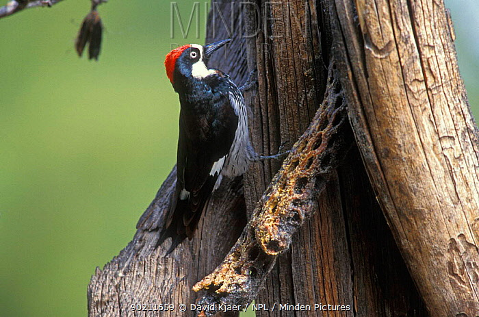 Acorn woodpecker, male (Melanerpes formicivorus) Arizona, USA  -  David Kjaer/ npl