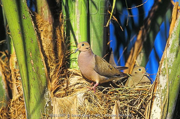 Mourning dove pair at nest (Zenaida macroura) Arizona, USA  -  David Kjaer/ npl